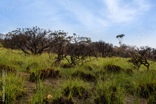 New shoots of green grass rise from an ashen burnt landscape Canvas Print
