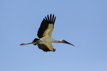 A Flying Wood Stork In Front O...