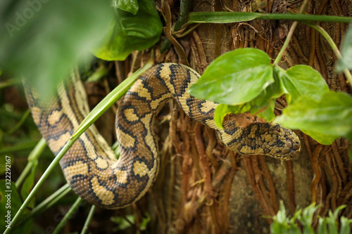 Large carpet python climbing palm tree in Airlie Beach, Queensland, slightly hid Canvas Print