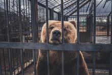 Brown Bear Behind Bars In Zoo ...