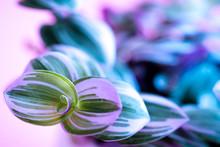Purple Garden Of Tradescantia ...