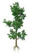 3D Rendering Elm Tree on White
