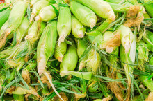 Heap Of Fresh Harvested Sweet Corn At Farmer Market In Washington, USA