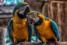 Orange Parrots With Blue