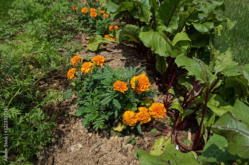 Foto Marigold plants nestled between red beet and carrot plants