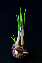 Crocus Sativuscorm With Stem And New Sprouts And Small New Corms On A Dark Background. Photo For Images Of Gardening, Planting, Transplanting Garden Flowers, Root System Diseases.