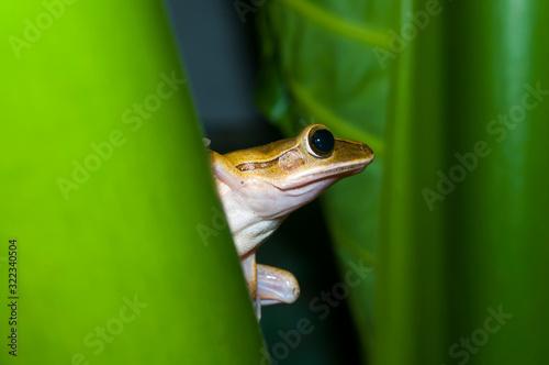 frog on a leaf Canvas Print