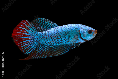 Blue and red wild betta fish, Siamese fighting fish, Pla-kad (Biting fish) isolated on black background Wallpaper Mural