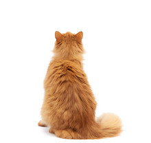 Adult Fluffy Red Cat Sits With His Back