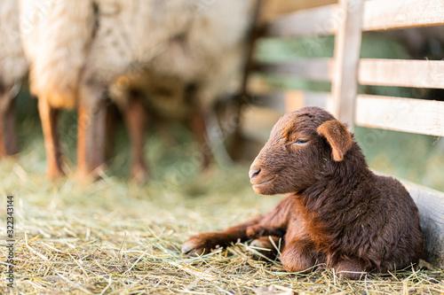 Kleines Lamm in der Abendsonne Fototapete