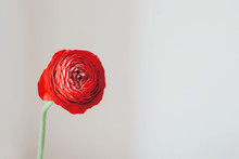 Beautiful Fresh Red Ranunculus...