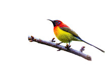 Mrs. Gould's Sunbird Or Aethop...