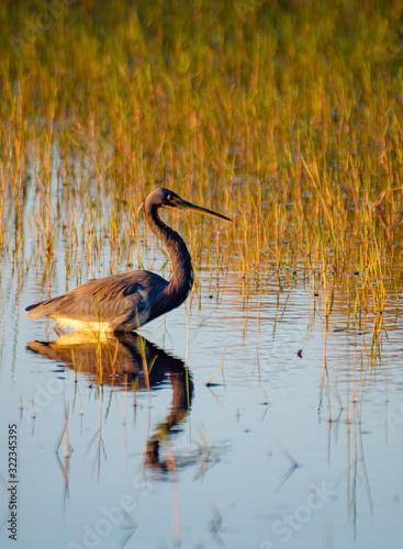 556-41 Great Blue Heron Fishing
