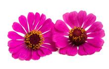 Pink Zinnia Flower Isolated