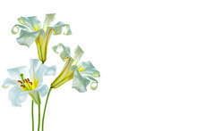 Bright Lily Flowers Isolated O...
