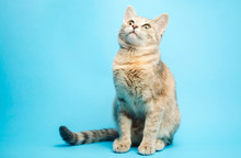 Gray Tabby Cat On A Blue Backg...