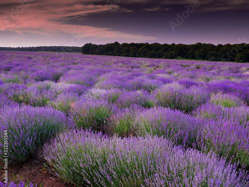 Fototapeta lavender field in provence france obraz na płótnie