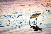 Sandpiper On The Beach Feeding