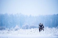 Isolated European Bison On A V...