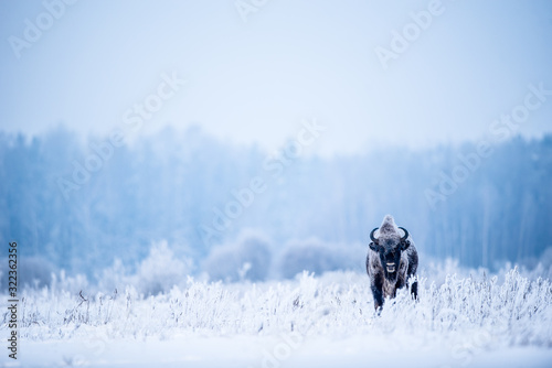 Fototapeta Isolated European bison on a very cold winter day
