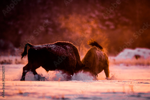 Valokuvatapetti Two European bison fighting on a cold winter morning in beautiful backlight