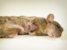 Couple Of Rats Lying Close Tog...