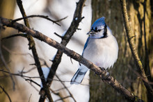 Blue Jay Perched In A Tree Nea...