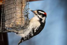 Downy Woodpecker Eating At Bird Feeder