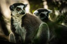 Lemur  Madagascar  The Ring-ta...