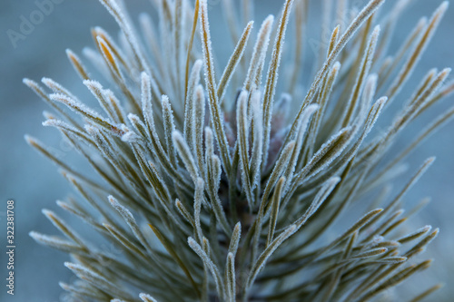 Photo Hoarfrost on a pine branch