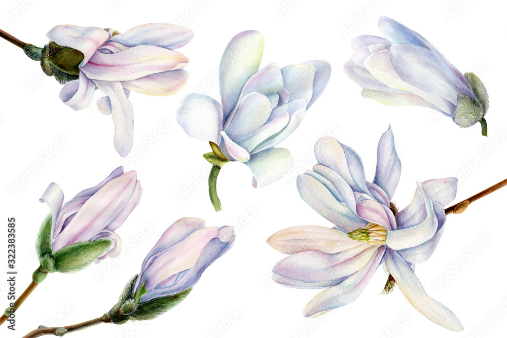 Fototapeta set of white magnolia flowers on a white background, watercolor, botanical painting, spring clipart, tropic flora