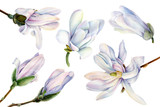 set of white magnolia flowers on a white background, watercolor, botanical painting, spring clipart, tropic flora