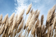 Pampas Grass In The Sky, Abstract Natural Background Of Soft Plants Cortaderia Selloana Moving In The Wind. Bright And Clear Scene Of Plants Similar To Feather Dusters.