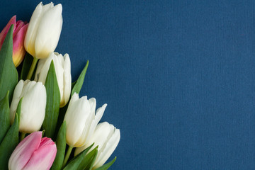five white and pink tulips on left corner of photo on classic blue background, space for text, layout for postcard, woman's day or valentines day, holiday concept