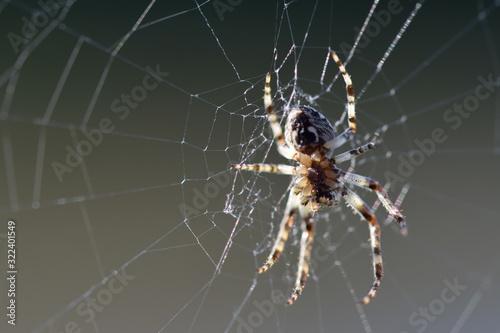 Spinne wartet in ihrem klebrigen Netz auf ihre Beute Wallpaper Mural