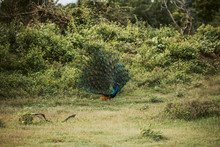 Sri Lanka, Sabaragamuwa Province, Udawalawe, Peacock Standing On Grass With Fanned Out Tail