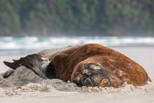 New Zealand, Dunedin, New Zealand Sea Lion (Phocarctos Hookeri) Sleeping On Allans Beach