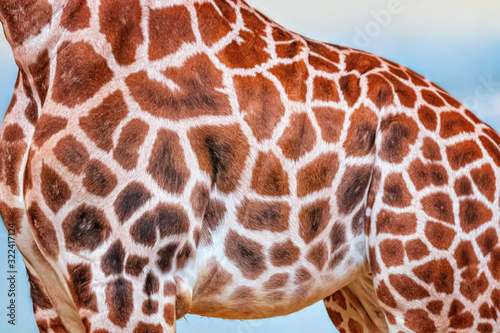 Close up photo of head of giraffe, giraffa, with blue sky background Canvas Print
