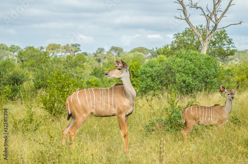 A big family of Kudu antelopes in Kruger national park Africa Canvas Print