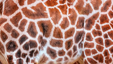 Natural Pattern Of Giraffe Fur...