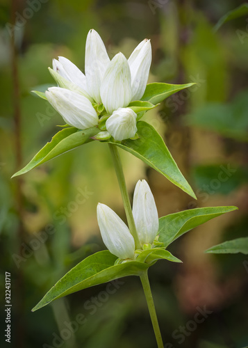 Valokuva A rare cream gentian in bloom is discovered among the prairie grasses in a Midwest remnant prairie