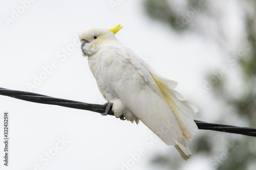 Obraz na plátne Sulphur-crested Cockatoo on a wire in the rain