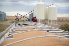 Male Farmer Examining Grain In...