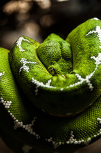 Green And White Snake Coiled ...