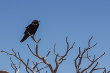 A Lone Raven Sits On The Branc...