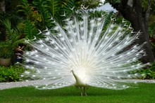 All White Male Peacock Bird Wi...