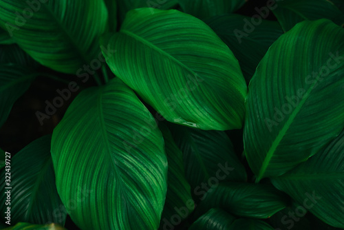 Fototapety, obrazy: Green leaves of plant growing. tropical rain forest plant. abstract color on dark background