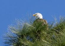 Perched Bald Eagle