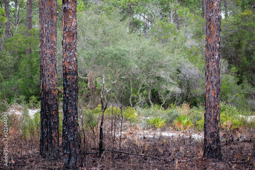 burned pines in swamp