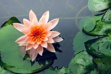 Beautiful Lotus Flower Is Comp...